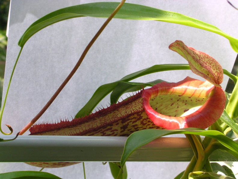 N. ventricosa X maxima pitcher with flared peristome resting on windowsill