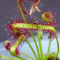 Drosera_capensis_'typical]