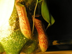 March 16th 2004 -- Nepenthes hybrid from Gubler's Orchids