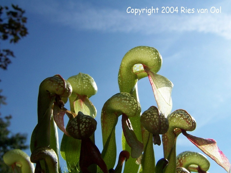 Darlingtonia_californica5.jpg