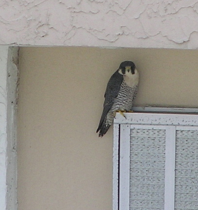Perigrine falcon in Fort Lauderdale